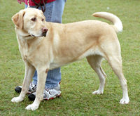 200px-YellowLabradorLooking